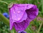 barvy_violet-flower